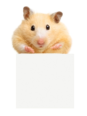 Hamster hold empty white poster isolated on white photo
