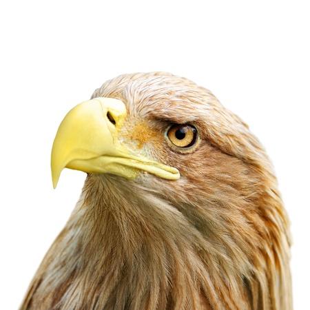 halcones: La cabeza del �guila aislado en blanco Foto de archivo