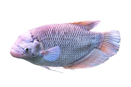 exotic fish: Peces ex�ticos aislados en blanco