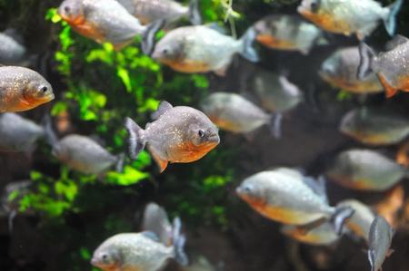 rio amazonas: Piranha pez en el agua Foto de archivo