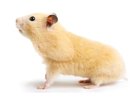 Hamster isolated on white background Banco de Imagens