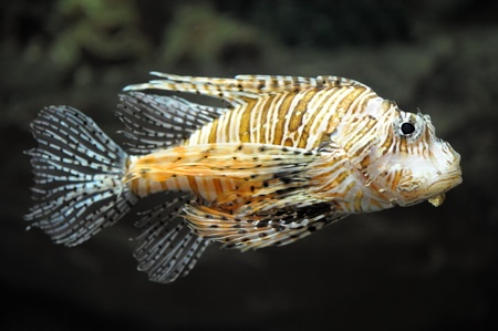 zebrafish: Lion fish on black background Stock Photo