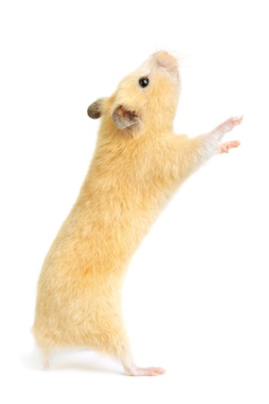 Hamster isolated on white background Banque d'images