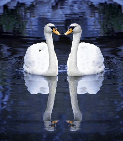 Two white swan in love forming photo