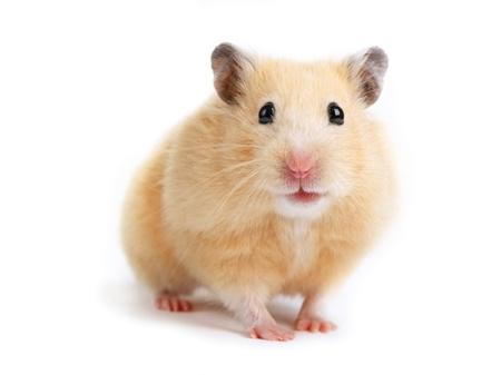 Hamster isolato su sfondo bianco