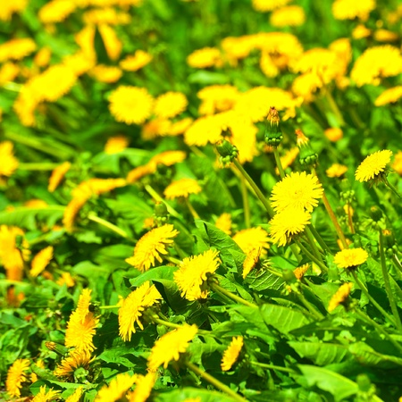 Yellow bright dandelions in green grass photo