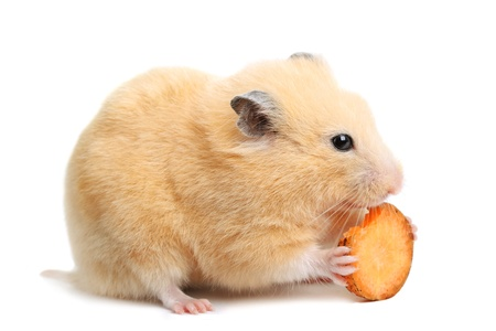 Funny hamster eats on white isolated background Stock Photo