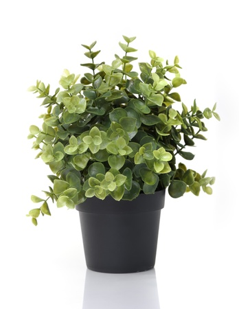 potted plants: Home plant in pot isolated on white background