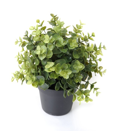 potting: Home plant in pot isolated on white background