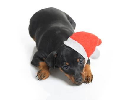 Dog in Santa hat isolated on white background photo