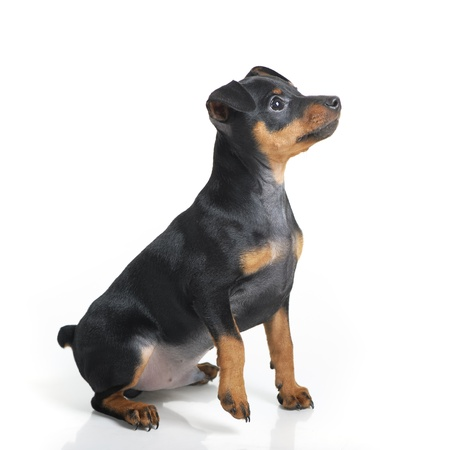 pinscher: Miniature Pinscher puppy isolated on white background