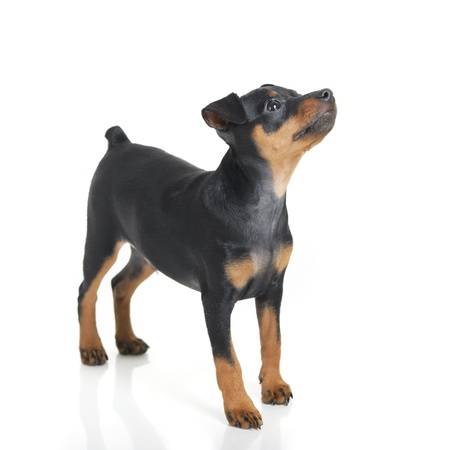 Miniature Pinscher puppy isolated on white background photo