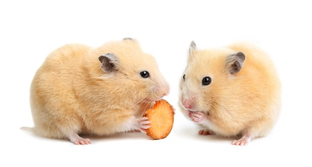 Two funny hamsters eats on white isolated background