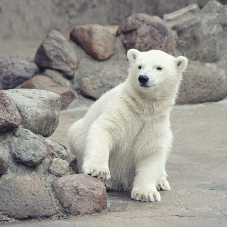 Little funny white polar bear photo