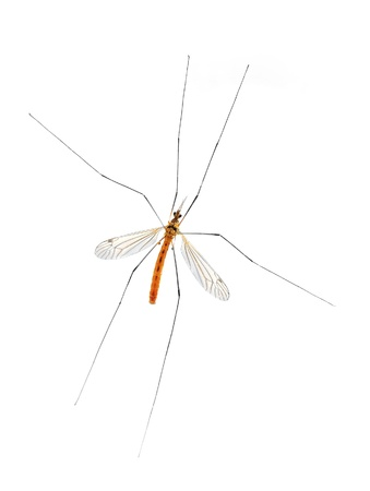 Mosquito bug isolated on white Stock Photo - 18232755