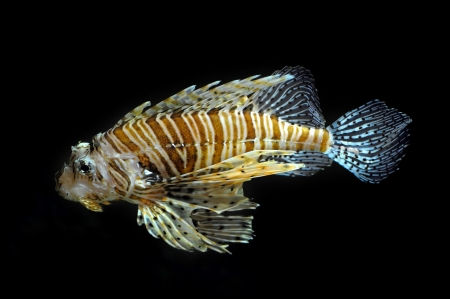 dragonfish: Lion fish on the black background Stock Photo