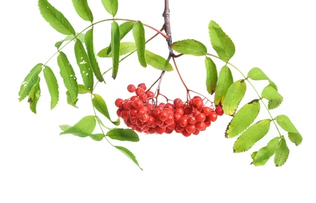 Bunch of red rowan isolated on white background photo