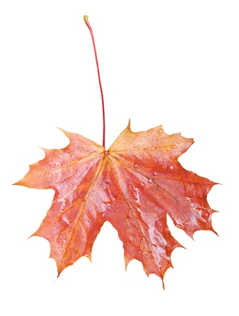 Single leaf isolated on white background photo