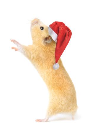 Christmas hamster isolated on white background photo