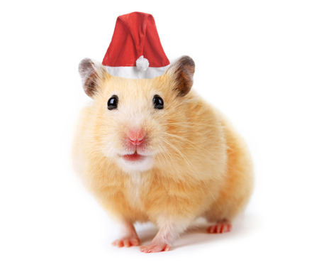 cute hamster: Christmas hamster isolated on white  Stock Photo