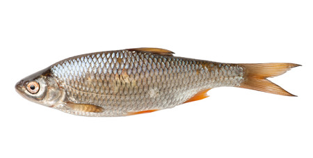 big fin: Roach fish isolated on white background