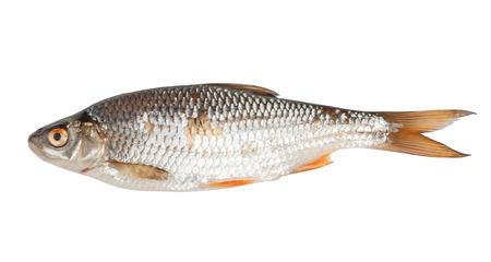 european roach: Roach fish isolated on white background