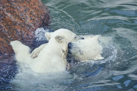 Two little white polar bears play in water