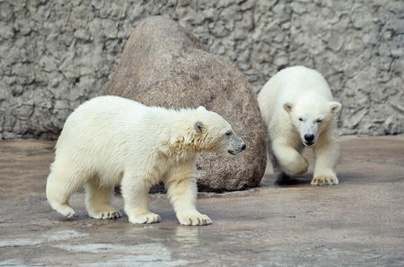Two little white polar bears near stone are playing Stock Photo