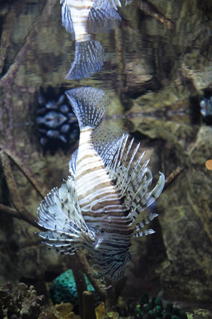 Common lionfish (Pterois volitans) swimming in water, reflection in top of waves. Fish is a tropical species with a painful venom