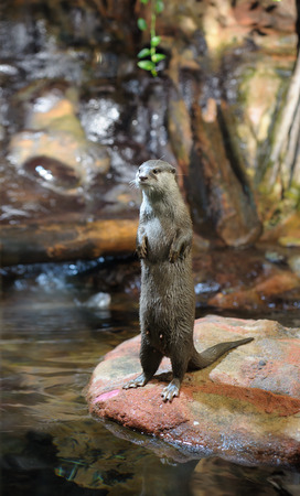 Brown otter standing and looking away from the camera 写真素材