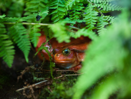 Red frog (tomato frog, Dyscophus antongilii) with big yellow eyes sits in the green grass Stock Photo