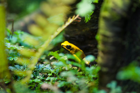 Golden Poison Arrow Frog (Phyllobates terribilis). Colourful bright yellow tropical frog Imagens
