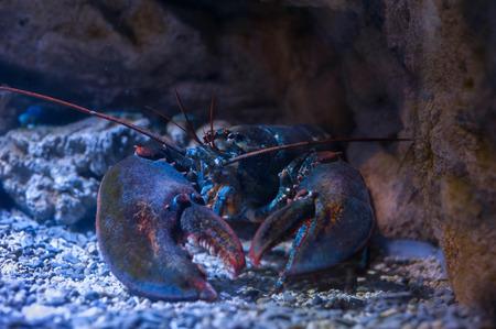 Gros homard sous l'eau sur un fond rocheux