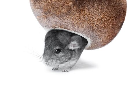Gray chinchilla hiding in hole isolated on white background Stock Photo