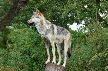 Gray wolf, Canis lupus, on stump in the forest with green leaves. Wolf in the nature habitat