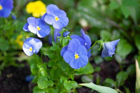 Blue pansies. Beautiful flowers blue violet pansies close up Zdjęcie Seryjne