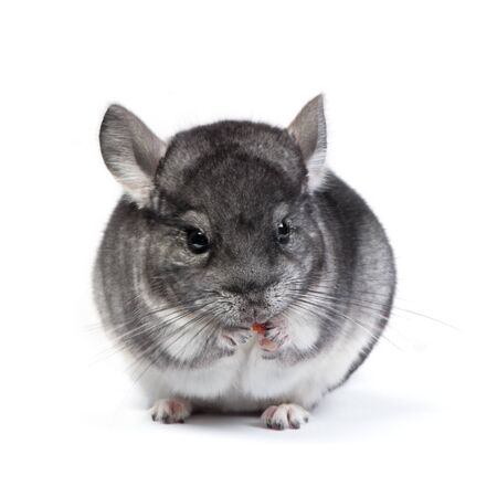 Cute grey Chinchilla in studio isolated on white background