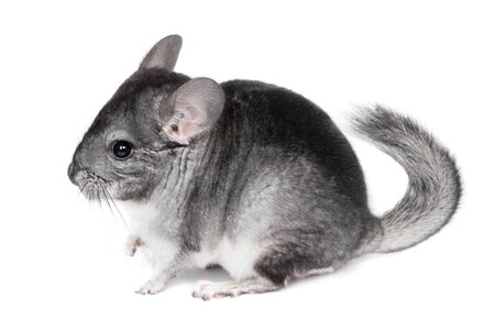 Funny pretty grey chinchilla isolated on white background 写真素材