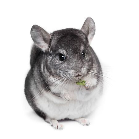 Funny pretty grey chinchilla isolated on white background Stock Photo