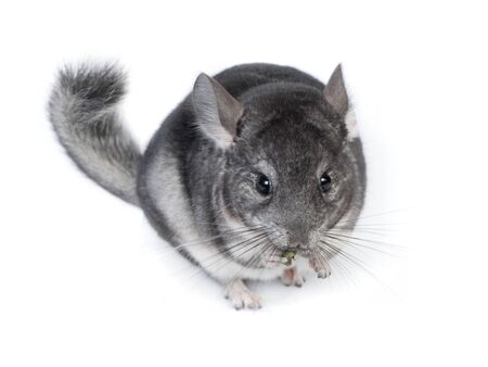 Funny pretty grey chinchilla isolated on white background