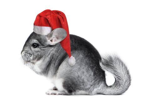 Christmas chinchilla in santa hat isolated on white background