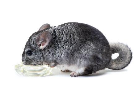 Chinchilla eats food isolated on white background