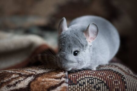 Chinchilla on the carpet indoors