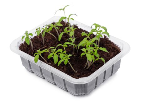 Young tomato seedlings in a transparent plastic container isolated over white background