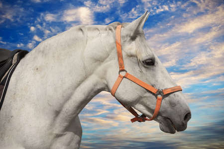 White horse head in harness with sky and clouds on background