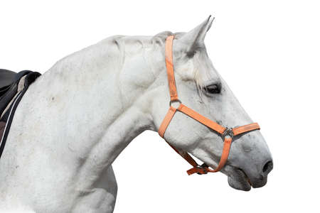 White horse head in harness isolated over white background