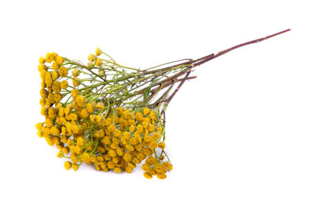 Common tansy isolated on white background