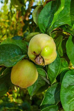 membrillo: Fruto de membrillo en una rama de �rbol.
