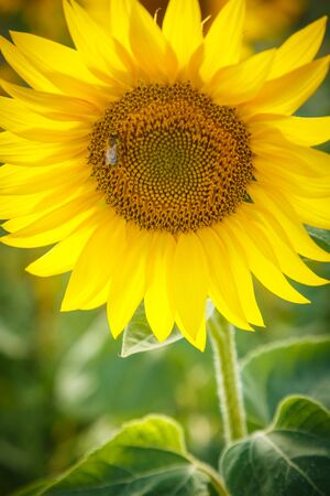 Yellow blooming sunflower in summer