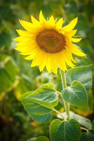 Beautiful sunflower in summer Stok Fotoğraf